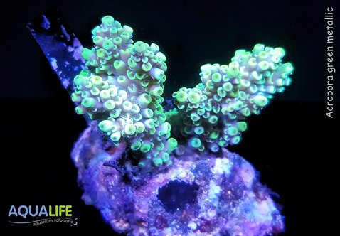 Acropora green metallic