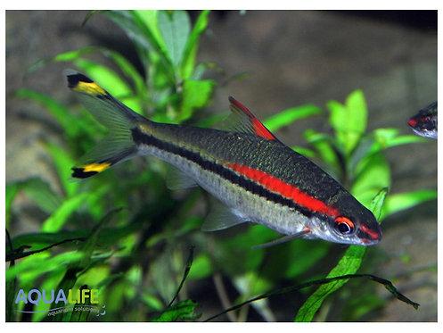 Puntius denisonii (Barbo de Linea Roja)