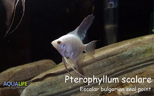 Escalar bulgarian seal point (Pterophyllum scalare)