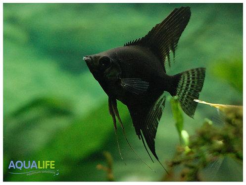 Escalar Full Black (Pterophyllum scalare)
