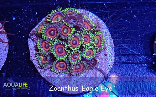 Zoanthus 'Eagle eye'