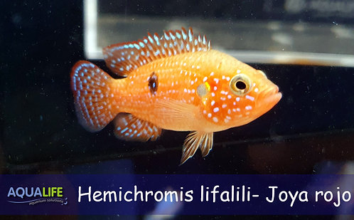 Hemichromis bimaculatus- Ciclido Joya