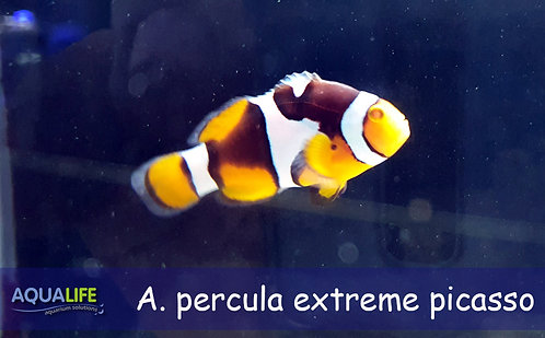 Amphiprion percula extreme picasso