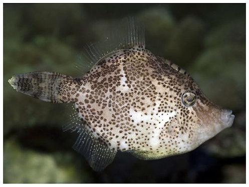 Acreichthys tomentosus