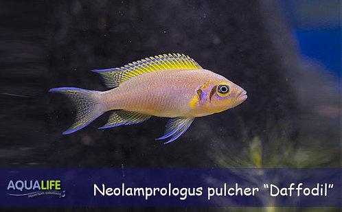 "Neolamprologus pulcher ""Daffodil"""