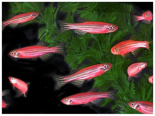 Cebrita roja fluo (Danio rerio)