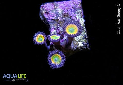 Zoanthus Sunny D 4 polipos