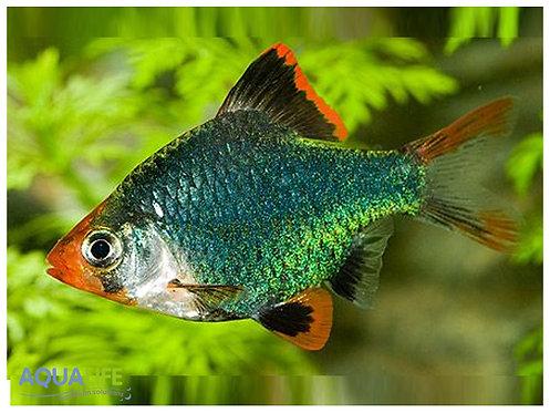 Barbus green