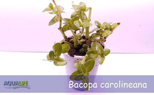 Bacopa carolineana