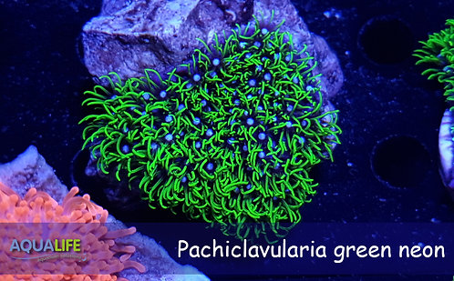 Pachyclavularia green neon