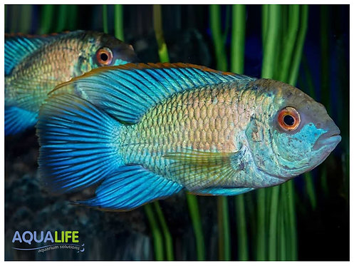 Andinoacara Electric Blue