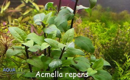 Acmella repens