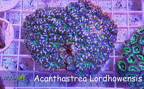 Acanthastrea Lordhowensis ultra color