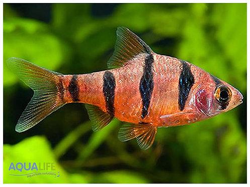 Puntius pentazona (Barbus de 5 bandas)
