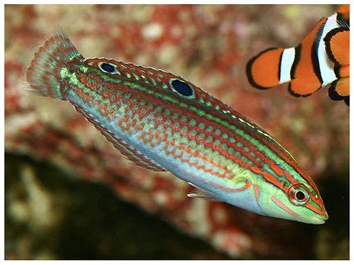 Halichoeres biocellatus