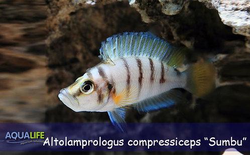 """Altolamprologus compressiceps """"Sumbu"""""""