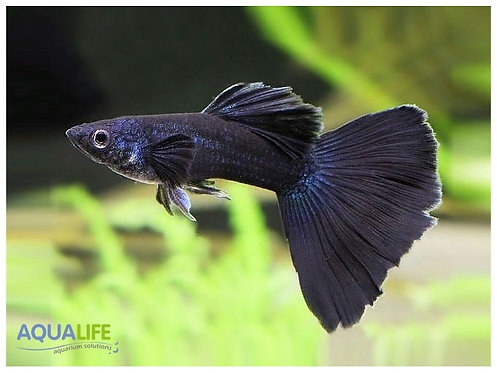 """Lebiste Poecilia Reticulata """"Full Black""""(pareja)"""