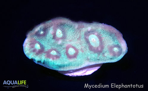 Mycedium Elephantotus