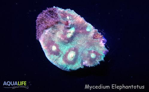 Mycedium Elephantotus