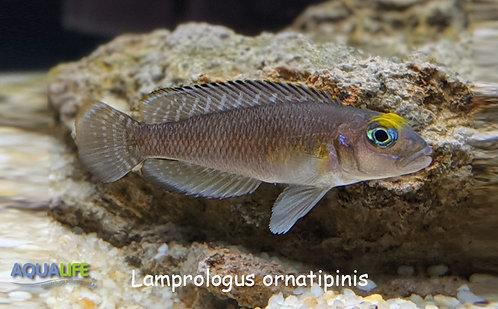 Lamprologus ornatipinis