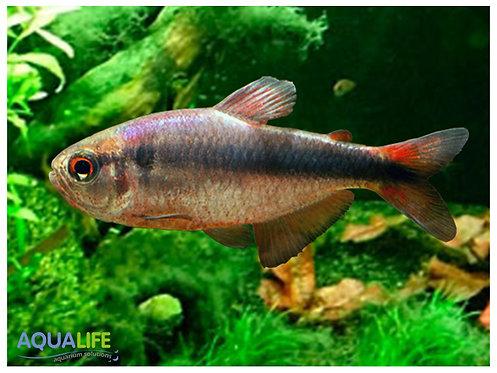 Hyphessobrycon melanostichos (Tetra Blue Ribbon)