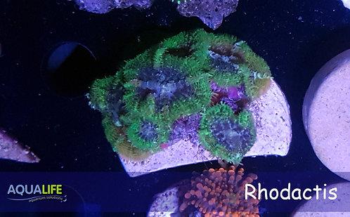 Rhodactis