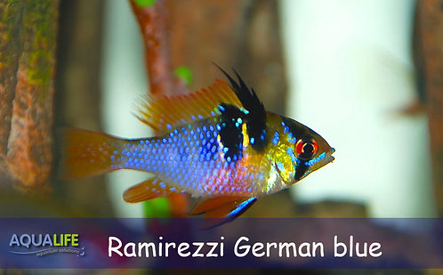 "Microgeophagus Ramirezzi ""German Blue"""