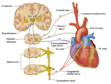 Theory of the effect of altered fluid mechanics on blood pressure.