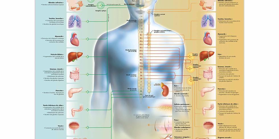 NeuroYoga® Printemps & Renouveau focus : le ventre (1)