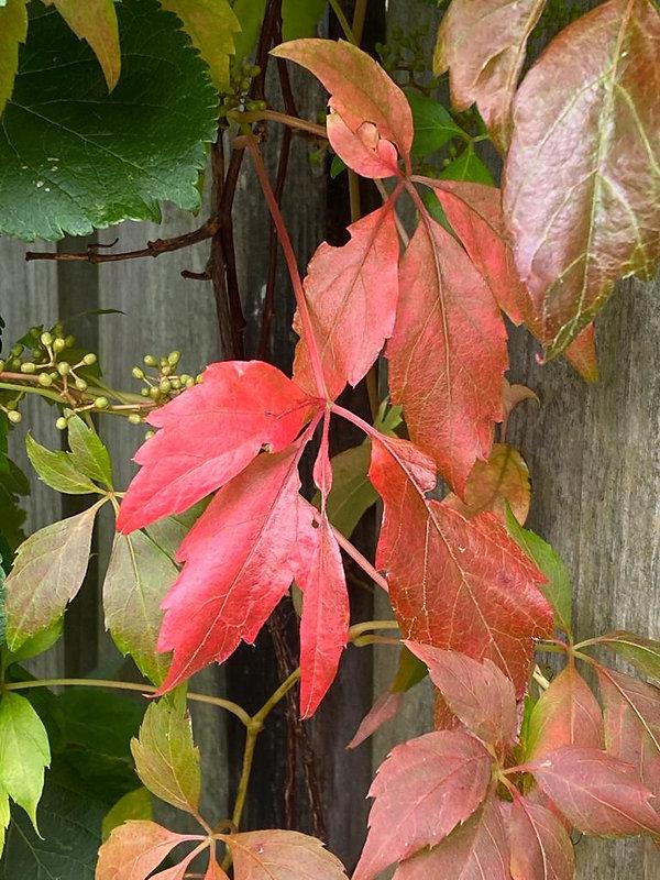 red leaf.jpeg