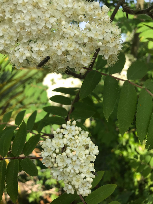 Elderflower.jpeg