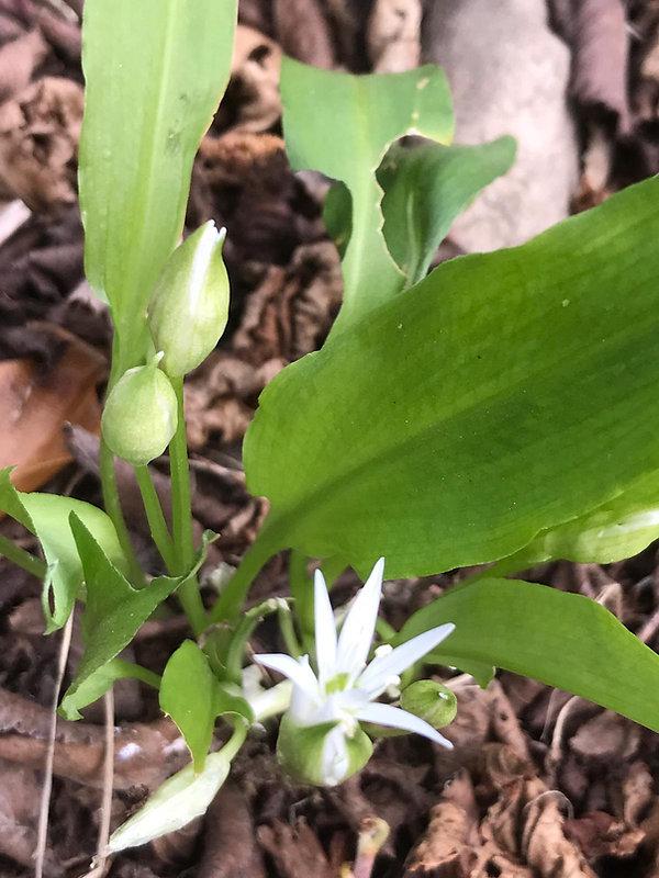 wild garlic.jpeg
