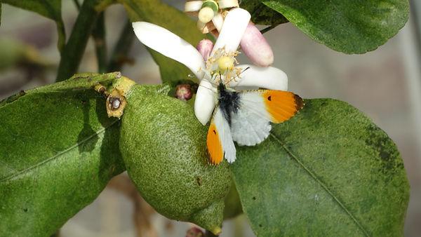 butterfly lemon tree.JPG