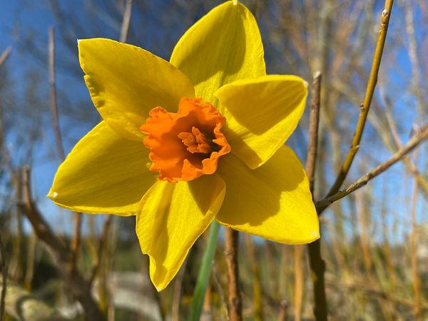 daffodil .JPG