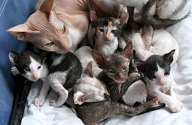 Mumsikoff Cornish Rex kittens