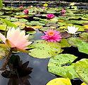 waterlily gardens waihi.jpg