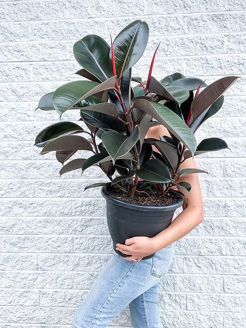 Ficus Black Knight - Triple Planted XXL
