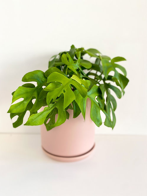 Philodendron Minima XL
