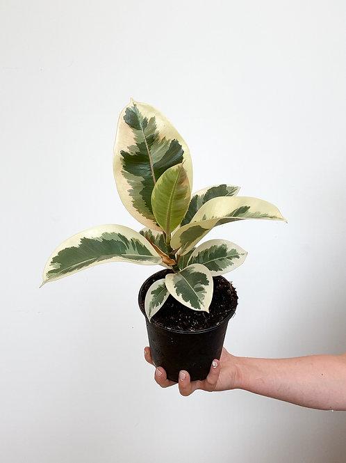 Ficus Tineke - 14cm