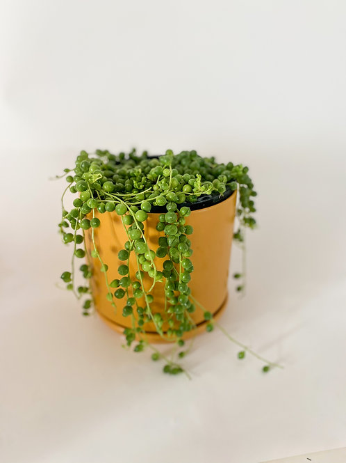 String of Pearls - 14cm Pot