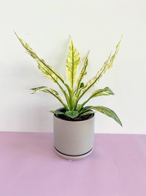 Spathiphyllum Sensation Variegata