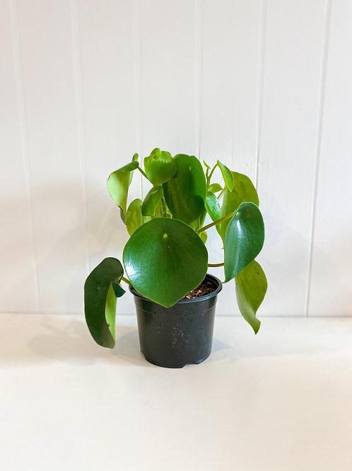 Peperomia Polybytra (Peperomia Raindrop) - 14cm Pot