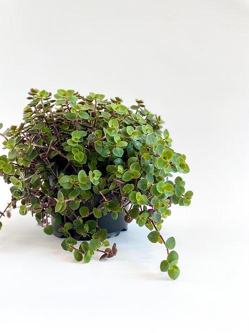 Callisia Bubbles - 14cm Pot