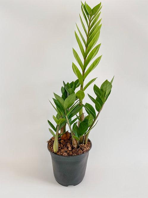 ZZ Plant - 14cm Pot