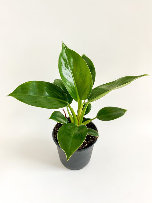 Philodendron Congo Apple - 14cm Pot