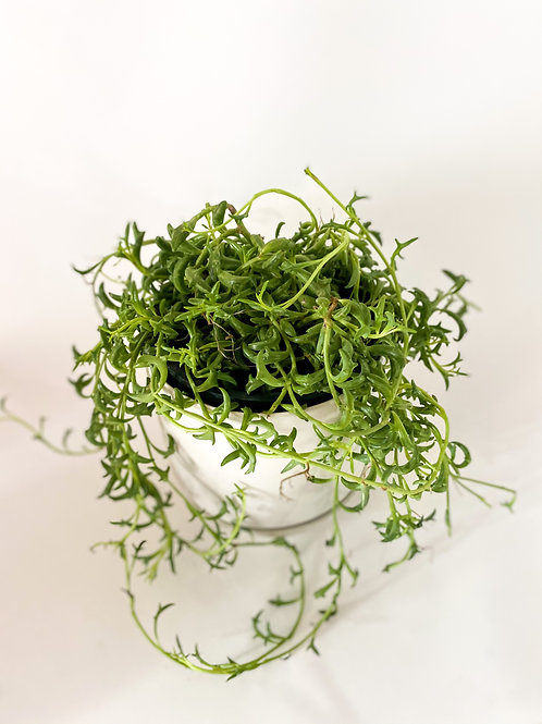 String of Dolphins - 14cm Pot