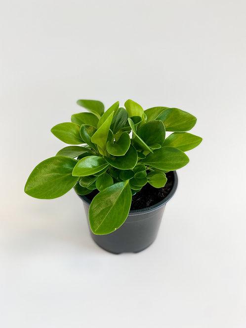 Peperomia Green - 14cm Pot