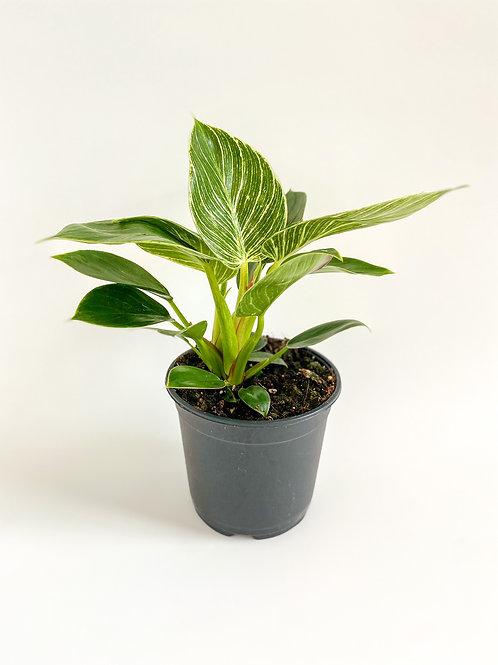 Philodendron Birkin - 14cm Pot