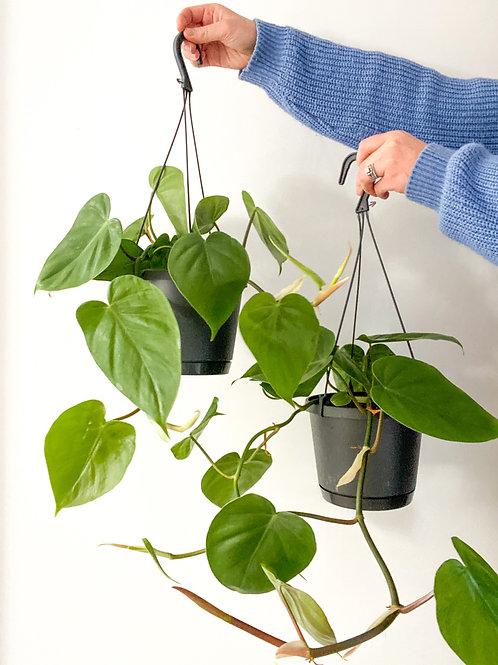 Heartleaf Philodendron 17cm Hanging Pot