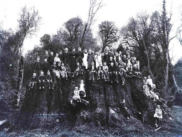 Fieldbrook stump, Ericson Collection at Humboldt State University.jpg